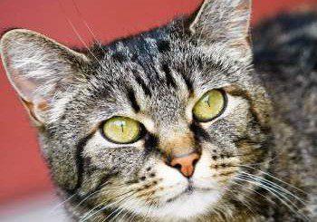 Могат ли котките да разнасят рак?