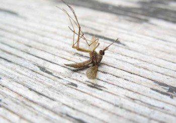 Тигрови комари засечени и у нас, носят опасни зарази