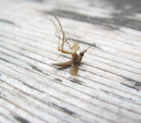 комар денга зика нилска треска