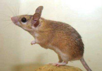 Опасните хантавируси засечени и у нас, пренасят ги мишки