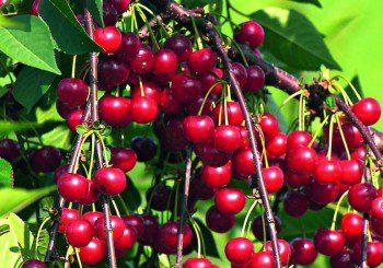 Сок от вишни се бори успешно с безсънието