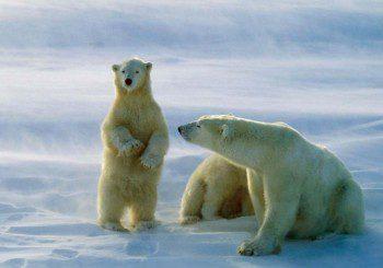Гените на белите мечки подсказват как да се справим със затлъстяването