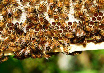 Пчелната отрова може да се окаже лекарство за рак