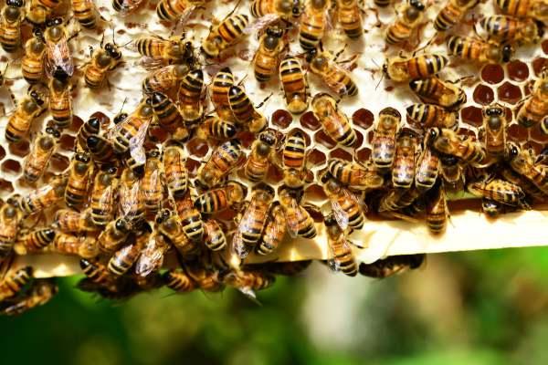 пчелна отрова пчели