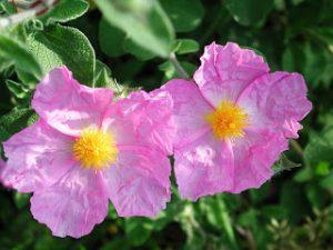 скална роза памуклийка цистус